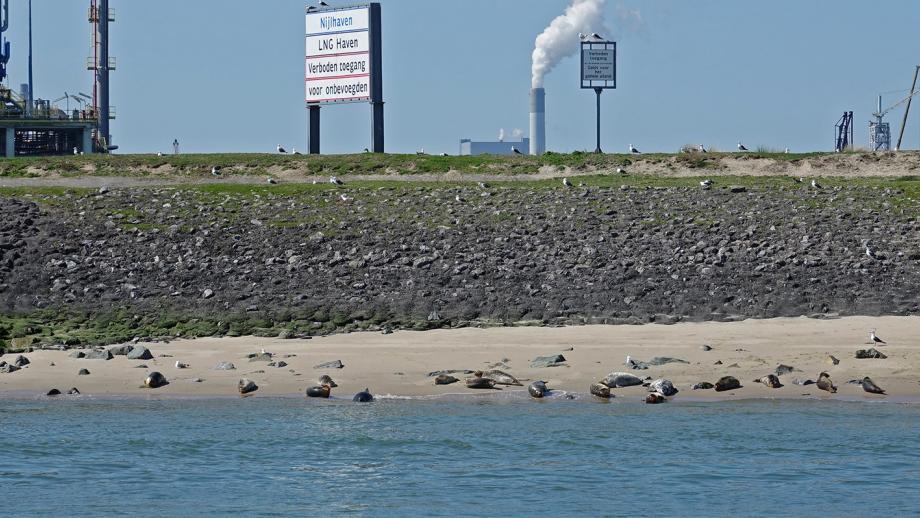 Milieu en haven: Zeehonden bij de Rotterdamse Nijlhaven