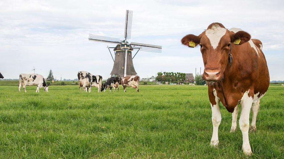 Campina koeien