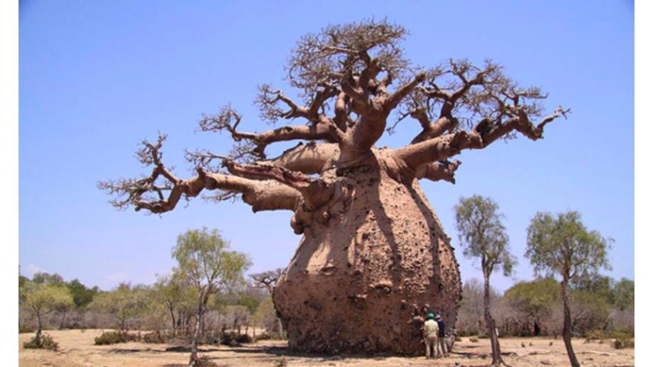 Een baobab