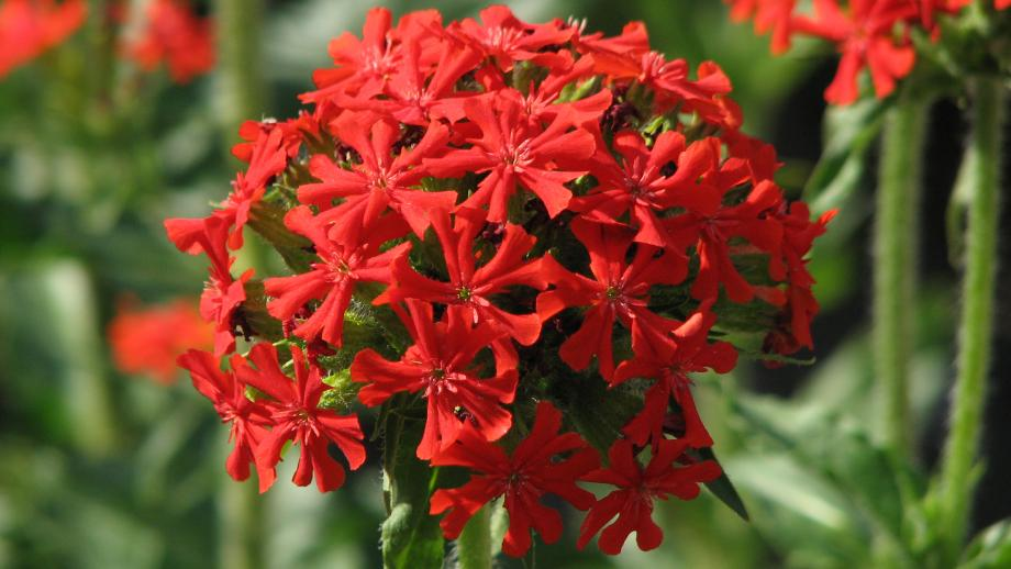 Brandende liefde (Silene chalcedonica, voorheen Lychnis chalcedonica)